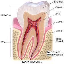 toothanatomycommons