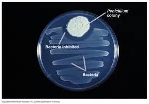 penicillin petri dish