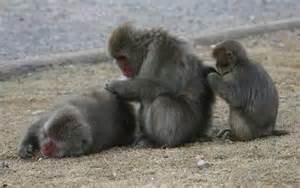 nitpicking baboons