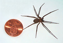 brown recluse penny