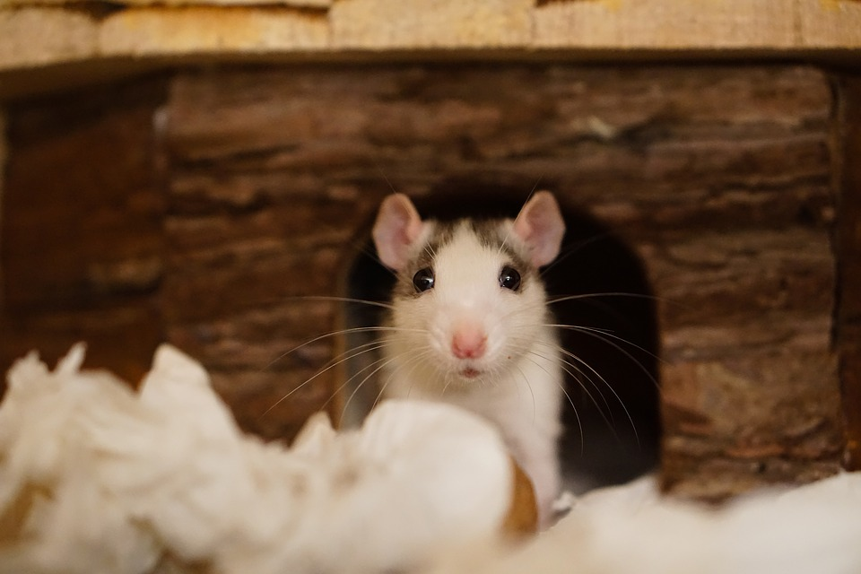 How to Control Rodents as Disease Vectors