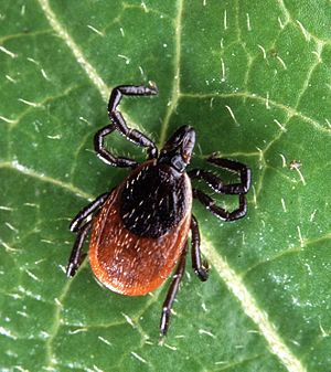 deer blacklegged tick