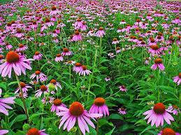 pretty echinacea flowers are purple and have healing properties for natural medicine