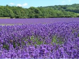 purple colored lavender flowers smell really good and they have medicinal properties