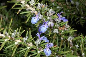 Rosemary is a versatile oil