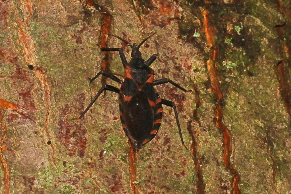 VIDEO: Kissing Bugs and Chagas Disease