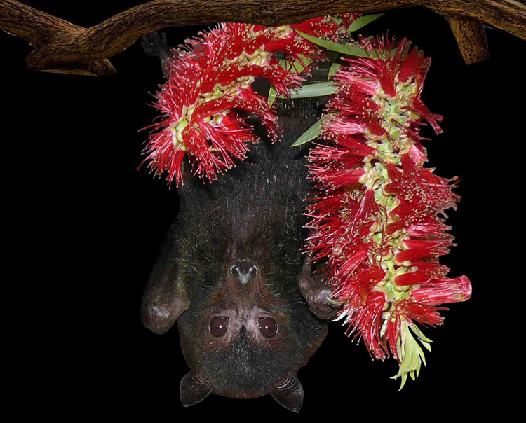 Do Bats Play A Role In The Coronavirus Epidemic?