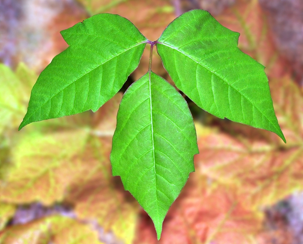 Poison Ivy, Oak, And Sumac